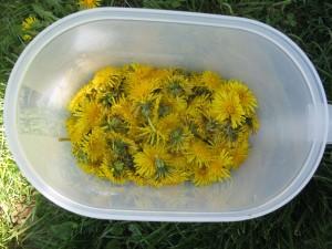gathered dandelions