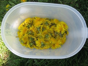 gathered dandelions